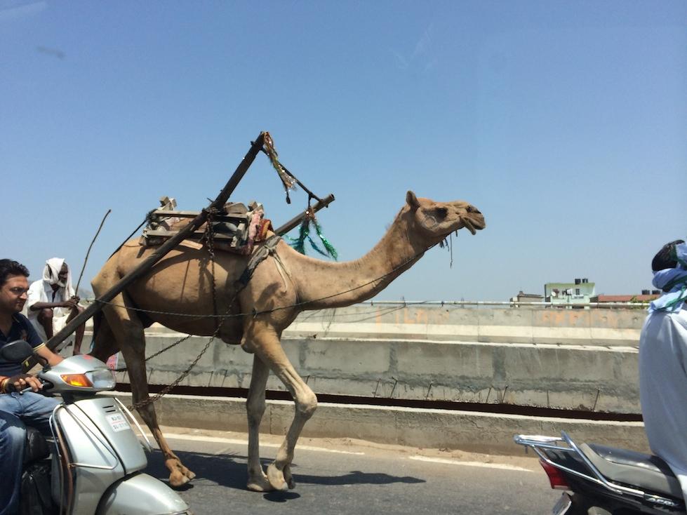 Kamele sind hier in der Region ganz normale Verkehrsteilnehmer.